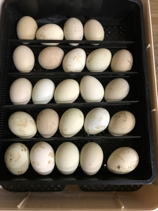 Ameraucana eggs in our smaller incubator
